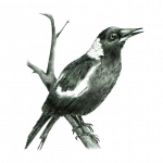 Illustration of a magpie by natural history illustrator Gina Cranson. For nature memoir Greenhood: the delight in being dormant.
